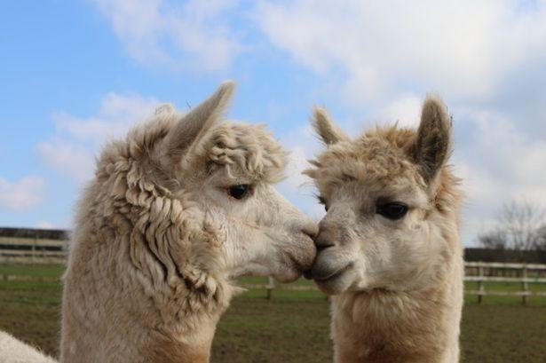 Kissing-alpacasjpeg